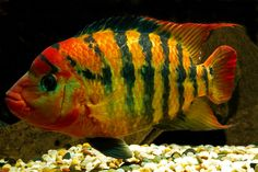 'Red Terror - Cichlasoma festae - female' Poster by Freshwater Aquarium, Aquarium Fish, Aquarium Setup, Colorful Fish, Tropical Fish, Oscar Fish, Cichlid Fish, Fishing Photography, Canon Photography