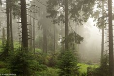 the foggy forests of the Harz Mountains, Germany