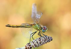 Ondrej Pakan's macro photography. Dragonflies are the coolest.