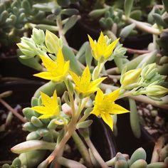 I wish #succulents would bloom more often:) #bloomerygrown #localgrown #succulentblooms
