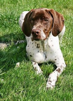 Braque Francais hunting dog from France Height-19-23 in Weight- 37-55 lbs Origin- France