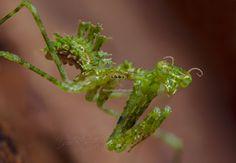 Pogonogaster Tristani