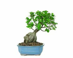 Brussel's Gensing Grafted Ficus Bonsai by Brussel's Bonsai. $46.96. Tropical beauty - indoor bonsai. Perfect for the home or office. 6 Years old; 16 inches tall. Ficus microcarpa 'Gensing'. Imported from southern China. Ginseng Grafted Ficus trees embody strength, with substantial exposed roots that support sturdy, thick-based trucks. Grafted branches display full clusters of compact foliage and glossy, oval leaves. These indoor bonsai respond to a wide range of light co...