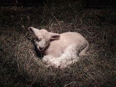 Joan Herrick Henry, 2014 LL lamb Baby Sheep, Sheep And Lamb, Sheep Art, Counting Sheep, Goat Farming, Love And Respect, Lambs, Leicester, Goats