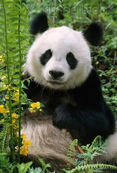 """Giant Panda Mother Tang Tang """"唐唐"""" (aka Stud : Giant Panda (Ailuropoda melanoleuca) among ferns and wildflowers in bamboo forest of central China. Panda Bebe, Cute Panda, Animals And Pets, Baby Animals, Cute Animals, Nature Animals, Beautiful Creatures, Animals Beautiful, Panda China"""