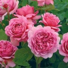 Princess Alexandra of Kent - Standard Roses - Type