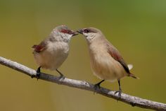 Photograph Scarlet-rumped Waxbill by Allan Seah on 500px