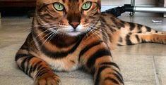 Tìm hiểu nguồn gốc đặc điểm giống mèo Bengal đắt giá nhất thế giới