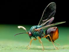 Eucharitid wasps are parasitic to many different species of ants. Eucharitid larvae will attach themselves to foraging ants, who unknowingly bring them back to the colony. Once there, the wasp larvae feed on ant larvae until they develop into adult wasps. Cool Insects, Bugs And Insects, Cool Bugs, Bees And Wasps, Beautiful Bugs, Creature Design, Amphibians, Ants, Beautiful Creatures