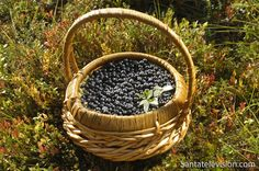 Santatelevision travel photo: Blueberry picking in Finnish forest – Blueberries in Finland – Blueberries in basket Helsinki, Finland Summer, Santa Claus Village, Blueberry Picking, Lapland Finland, Arctic Circle, After Christmas, Places Around The World, Food Pictures