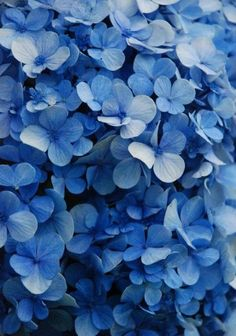 Hydrangeas. To get this effect, chop up some apples to add to the soil around it. The acid from the apples makes them bluer.
