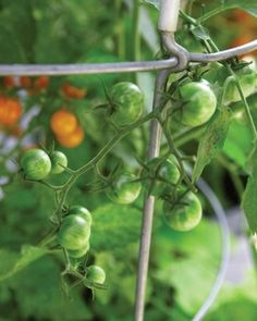 Don't wait all season for a few huge slicing tomatoes. Instead, opt for early-bearing cherry tomatoes, such as 'Sun Gold.'