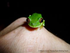 Frog, Natal Tree_St Lucia_SA VI South Africa Wildlife, Saints, Tours, Animals, Xmas, Animales, Animaux, Animal, Animais