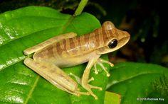 Tree frog, Osteocephalus sp.? from the Amazon rainforest near Puyo, Ecuador www.flickr.com/andreaskay/albums  www.flickr.com/andreaskay/albums