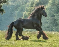Latcho's Shadow- Black Gypsy Vanner Stallion All The Pretty Horses, Beautiful Horses, Animals Beautiful, Black Horses, Wild Horses, Zebras, Gypsy Horse, Black Stallion, Friesian Horse
