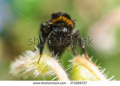 Wet humble bee drying on a plant, front portrait, close up.