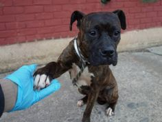URGENT - Brooklyn Center    LADY - A0992527   FEMALE, BR BRINDLE / WHITE, PIT BULL, 4 yrs  SEIZED - ONHOLDHERE, HOLD FOR EVICTION Reason OWN EVICT   Intake condition NONE Intake Date 02/25/2014, From NY 11233, DueOut Date 03/02/2014 https://www.facebook.com/photo.php?fbid=764663036879911&set=a.764662910213257.1073743007.152876678058553&type=3&theater