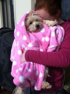 My cute dog wrapped up like a baby simba my dog