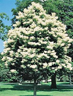 Japanese Tree Lilac.  Blooms in the summer.  Hardy to zone 4. Unique, small tree for limited space.