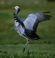 The blue crane - national bird of South Africa