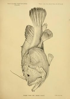 No. XIV.—Report on the marine fishes collected by Mr. J. Stanley Gardiner in the Indian Ocean - BioStor