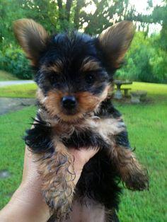 """""""Sookie"""" my Yorkshire Terrier puppy"""