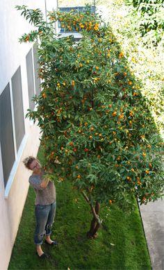 Fruit Tree Garden, Citrus Garden, Garden Trees, Edible Garden, Fruit Trees, Indoor Garden, Vegetable Garden, How To Grow Kumquat, Loquat Tree
