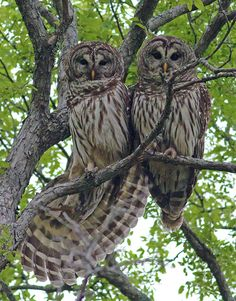 owls native to texas | Dallas Trinity Trails: Barred Owls -- Troubadours Of The Trees