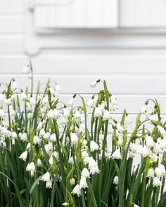 White Cottage, White Gardens, Garden Photos, Spring Blooms, Green Garden, Lily Of The Valley, Beautiful Gardens, Outdoor Spaces, Outdoor Gardens