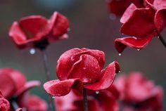 29 de outubro de 2014. Chuva cobertos papoulas de cerâmica, que fazem parte da instalação de arte, <i> Sangue Swept terras e mares de Red </ i>, são vistos na Torre de Londres em Londres.