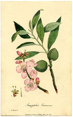 Botanical Almond Flower Print. This is another rare Botanical Print Circa 1828 by G. Spratt.