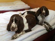 Springer Spaniel Puppies, English Springer Spaniel, Best Dog Breeds, Best Dogs, Spaniels, Little Dogs, Babies, Cute, Image