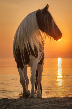 Beautiful paint marking horse with long gorgeous blonde mane standing in  the sand on the beach. Gorgeous golden sunset behind the horses head making  him ...