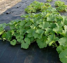 cantaloupe plant grows on permeable black tarp, landscape fabric, or black plastic (with weep holes punched) traps heat so that the soil is warm enough to encourage growth of cantaloupe at the beginning of the season. It also keeps melon vines clean and helps prevent diseases that may live in the soil.
