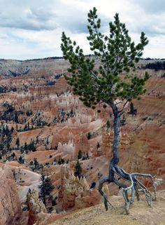 Extreme resilience. Limber Pine (Pinus flexilis) in Bryce Canyon National Park in Utah, U.S.