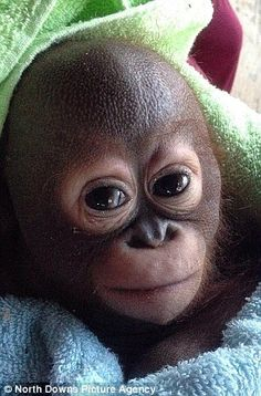 Jan 2015 /  The baby orangutan who couldn't grow up... because it was kept in a chicken coop: Ten-month-old animal who knew only pain and hunger because owner never gave it food