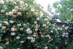 buff beauty rose