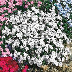 2 3 555 Pink Preference Autumn Sage Salvia Greggii