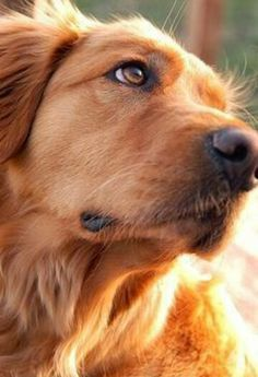 I love this adoring, caring look - There's nothing like a Golden's devotion!