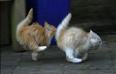 Synchronized cat dancing, or running....next Olympics for sure
