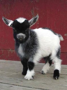 Baby Pygmy goat, so cute! I had one that looked just like this one as a child, growing up on a farm. Her name was Nubbins. These precocious critters are as entertaining as they are adorable.