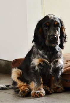 """Click visit site and Check out Best """"English Cocker Spaniel"""" T-shirts. This website is top-notch. Tip: You can search """"your name"""" or """"your favorite shirts"""" at search bar on the top. Cute Dogs And Puppies, I Love Dogs, Doggies, Beautiful Dogs, Animals Beautiful, Cute Baby Animals, Animals And Pets, English Cocker, English Spaniel"""