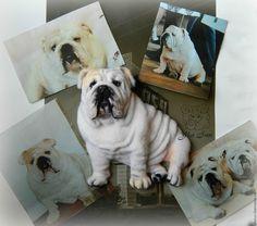 Купить Броши по фото Английский бульдог - белый, английский бульдог, брошь собака, валяная брошь
