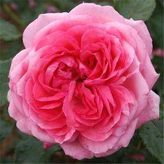 La Rose de Molinard® - 04/2015 - Floraison très abondante quasi ininterrompue. Point de mire dans un massif. Vigoureux, il peut être palissé. Label ADR. 1m50 à 2m