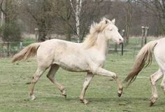 Infoseite der belgischen Morgan Horses Farm Off Border Hill. Morgan Horse, Horse Farms, Beautiful Horses, Pony, Animals, Pretty Horses, Pony Horse, Animales, Animaux