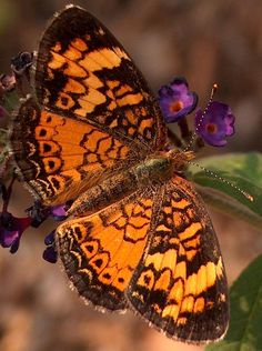 Picture of Butterfly: