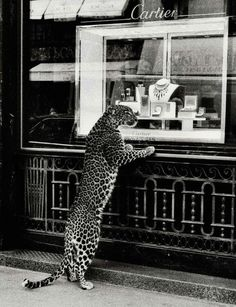 gettin cheeky with Cartier . Paris Le symbole Panthère CARTIER must Black And White Photo Wall, Black N White, Black And White Photography, Black And White Pictures, Photo Wall Collage, Picture Wall, Art Photography, Street Photography, Pinterest Photography