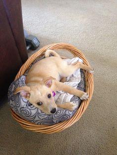 Shibador puppy
