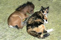 Mini horse and kitty cat. Hey, the cat is bigger than the horse!