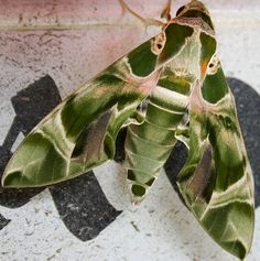 Daphnis nerii - Oleander Hawk-moth - Camouflaged moth . We had one in our garage 3 yrs ago, Cool